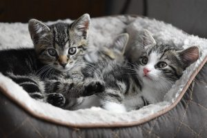 What To Know When You Adopt A Pair Of Kittens